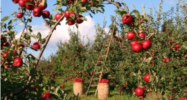 Owocowy sad obok ronda Jagiełły, Balicka, Lalki? Pomysł świetny i zdrowy czy trujący?